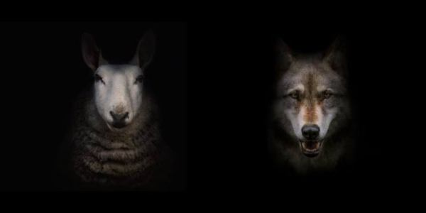 sheep or wolf?